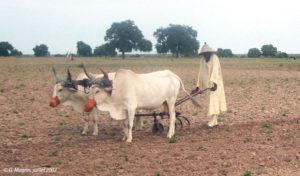 Un agriculteur avec son attelage vers Koungheul
