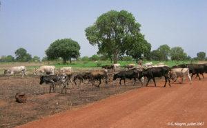 Vaches ndama au sud de Vélingara