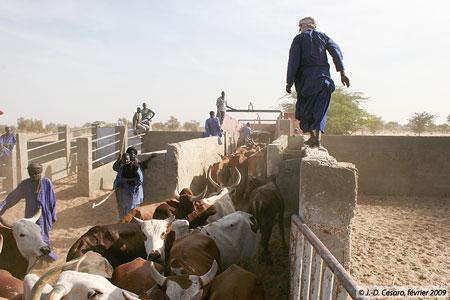 Sénégal-Le commerce de bétail sur pied-Les circuits nationaux de commercialisation-Embarquement en camion de bovins au foirail de Dahra pour Dakar