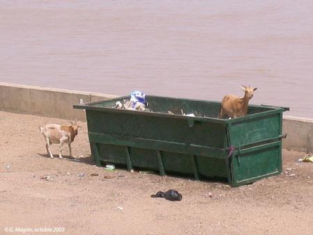 Sénégal-Les territoires de l'élevage-Peut-on cartographier le cheptel national ?-Chèvres et déchets urbains à Saint-Louis