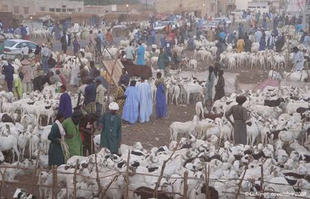 Sénégal-Le commerce de bétail sur pied-La Tabaski, géographie de la fête des moutons-Marché de moutons de Tabaski à Khombole, région de Thiès
