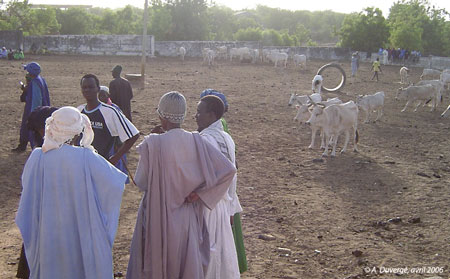 Sénégal-Le commerce de bétail sur pied-Tambacounda,l'essor d'un carrefour de bétail-Vente de bétail dans le daral bovin de Tambacounda