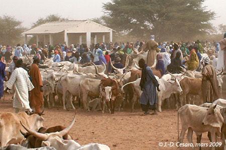 Sénégal-Le commerce de bétail sur pied-Dahra, capitale de l'élevage-Le daral bovin de Dahra