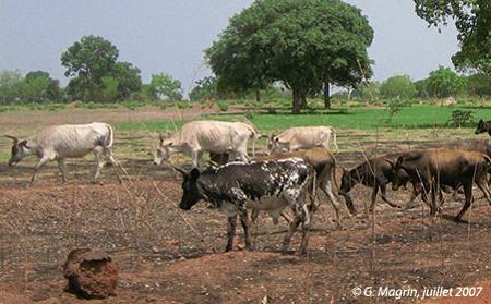 Sénégal-Le commerce de bétail sur pied-Tambacounda,l'essor d'un carrefour de bétail-Vaches ndama au sud de Vélingara