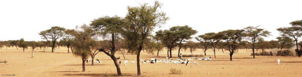 Repos d'un troupeau de moutons, région de Saint-Louis
